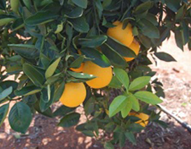 Winterveldt Citrus Project
